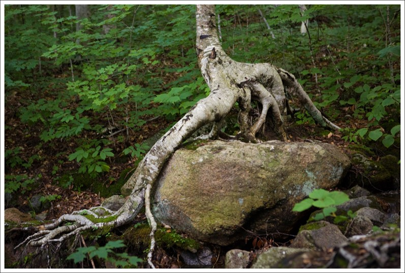 tree with roots over rock